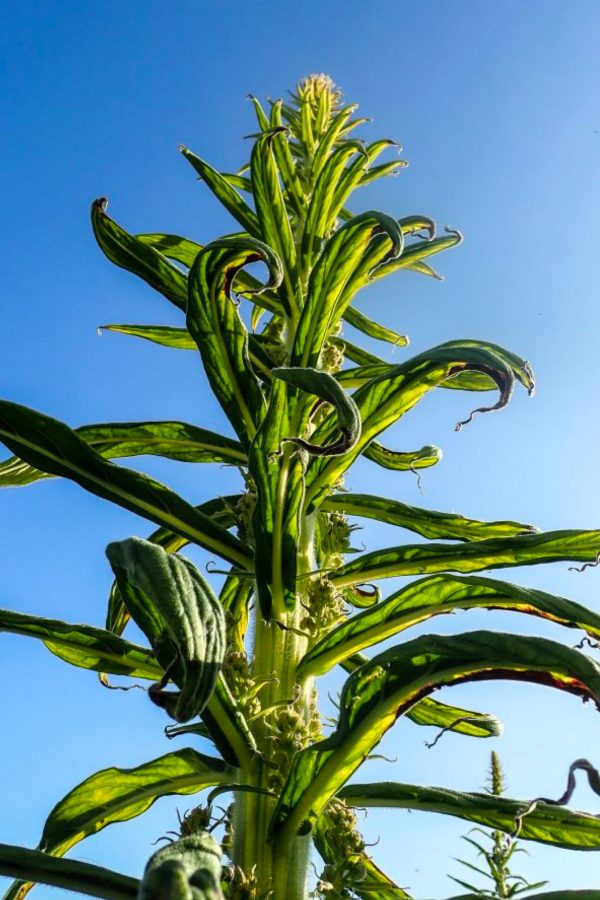 Photograph of a vibrant green plant with a bright blue sky background